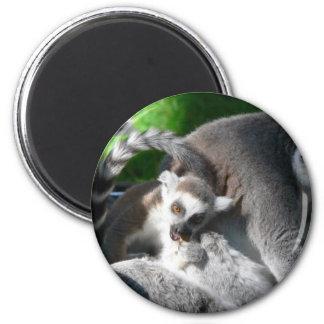 Lemurs Eating Magnet