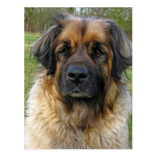 Leonberger dog postcard, beautiful photo postcard