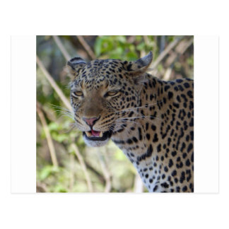 Leopard Cat Animal Africa Jungle Country Destiny Postcard