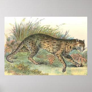Leopard-Cat (Javan Variety) Felis javanensis Poster