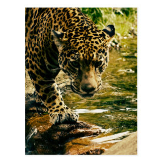 Leopard Crossing a Stream Postcard