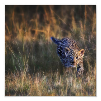Leopard Cub Panthera Pardus) as seen in the Photo Print