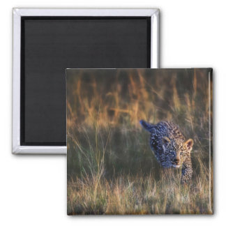 Leopard Cub Panthera Pardus) as seen in the Square Magnet