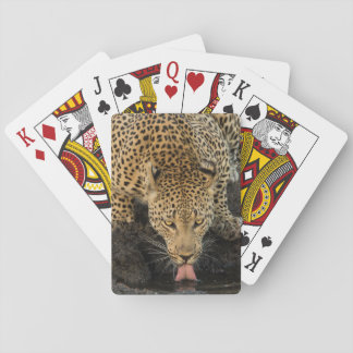 Leopard drinking, South Africa Poker Deck