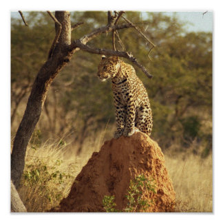 Leopard in Namibia, Africa Poster