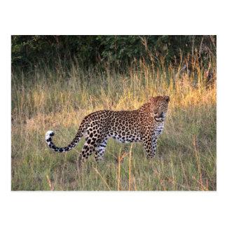 Leopard in Savanna Postcard