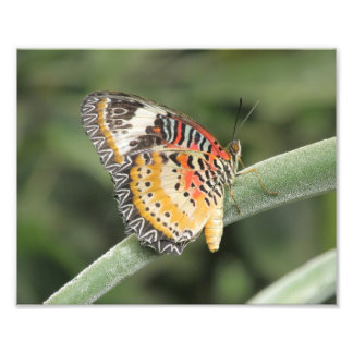 Leopard Lacewing Butterfly Photo Print
