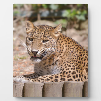 Leopard lying plaque