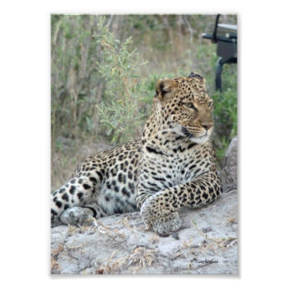 LEOPARD lying with crossed paws Photo