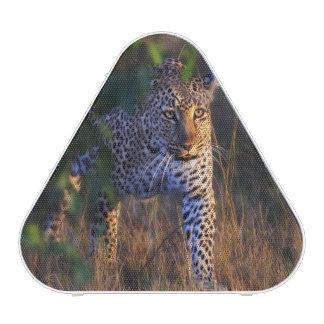 Leopard (Panthera Pardus) as seen in the Masai Blueooth Speaker