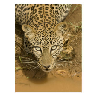 Leopard, Panthera pardus, drinking from a Postcard