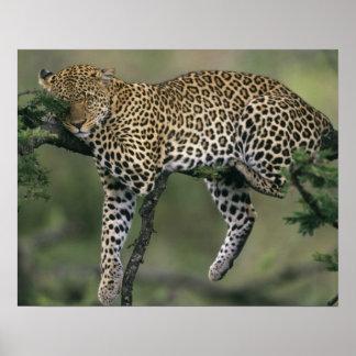 Leopard, (Panthera pardus), Kenya, Masai Mara Poster