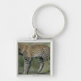 Leopard, (Panthera pardus), Kenya, Masai Mara Silver-Colored Square Keychain