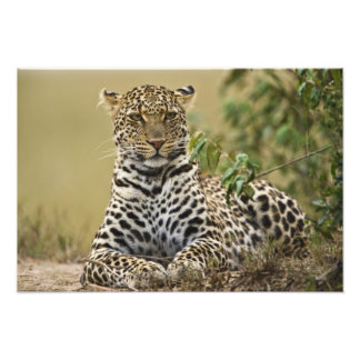 Leopard, Panthera pardus. Masai Mara Game Photographic Print