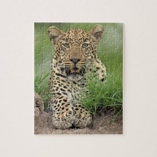 Leopard, Panthera pardus, Sabi Sabi Game Jigsaw Puzzle