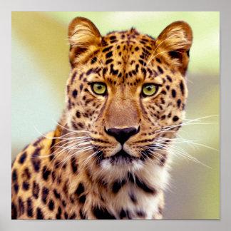 Leopard Photograph Poster