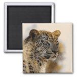 Leopard safari magnets