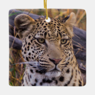 Leopard sitting, Botswana, Africa