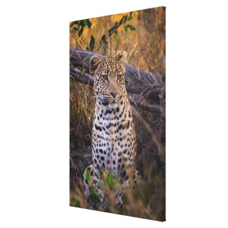 Leopard sitting, Botswana, Africa Canvas Print