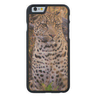 Leopard sitting, Botswana, Africa Carved Maple iPhone 6 Case