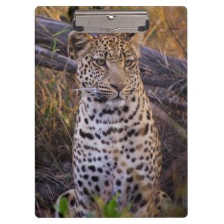 Leopard sitting, Botswana, Africa Clipboard