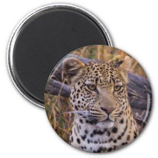 Leopard sitting, Botswana, Africa Magnet