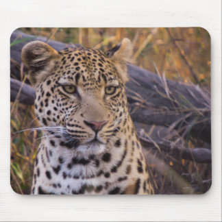 Leopard sitting, Botswana, Africa Mouse Pad