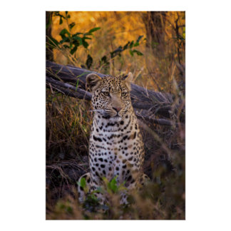 Leopard sitting, Botswana, Africa Poster