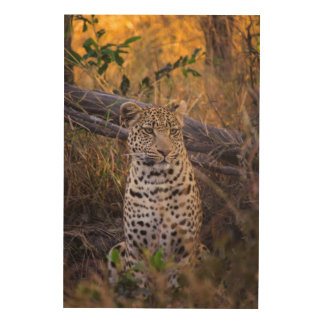 Leopard sitting, Botswana, Africa Wood Wall Art