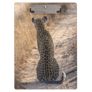 Leopard sitting in road, Africa Clipboard