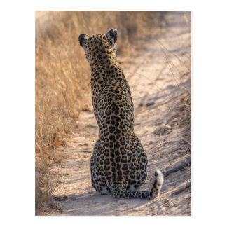 Leopard sitting in road, Africa Postcard