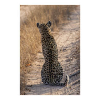 Leopard sitting in road, Africa Poster