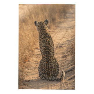 Leopard sitting in road, Africa Wood Print