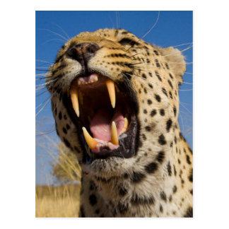 Leopard Snarling Postcard