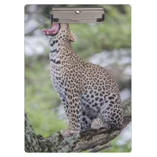 Leopard yawning, South Africa Clipboard