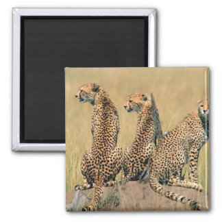 Leopards looking away square magnet