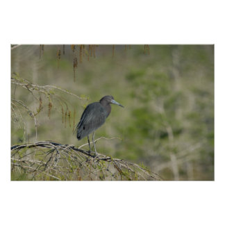 Lesser Blue Heron Everglades NAtional Park Poster