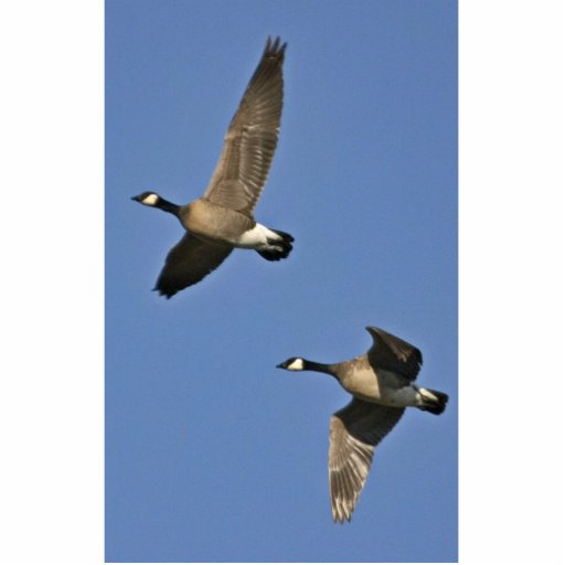 Lesser Canada Geese in Flight Photo Sculpture