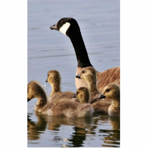 Lesser Canada Goose Brood Photo Cut Out