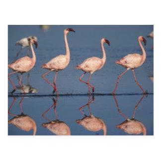 Lesser Flamingo, (Phoenicopterus minor), Postcard