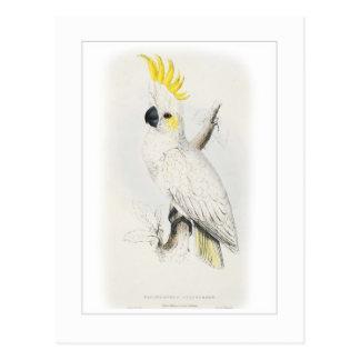 Lesser sulphur-crested cockatoo postcard
