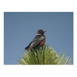 Lewis' Woodpecker Postcard