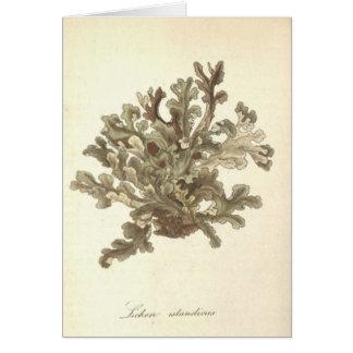 Lichen islandicus card