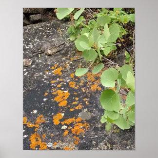 Lichen on boulder, beside baby aspens poster