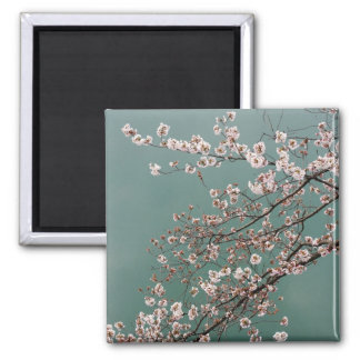 Light pink cherry blossoms on turquois background magnet