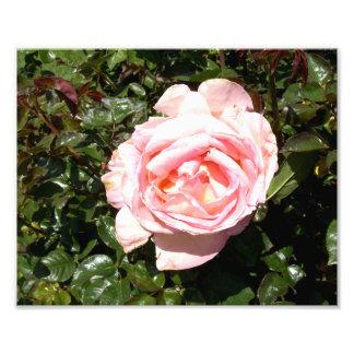 Light Pink Rose Art Photo
