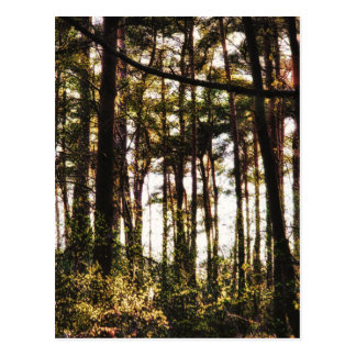 Light Through the Forest Trees Postcard