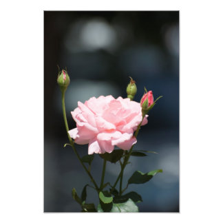 Like a rose photographic print