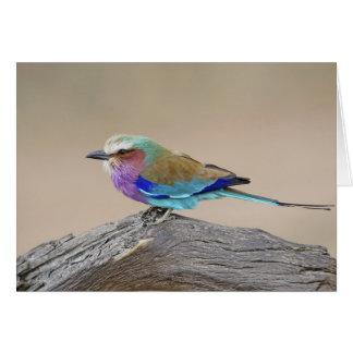 Lilac-breasted roller (Coracias caudata) Card