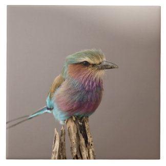 Lilac breasted Roller, Coracias caudata, Samburu Tile